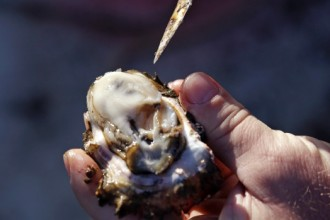Pollution Will Be Removed By Oysters In New Jersey